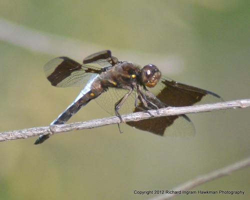 nature dragonflies wildlife macrophotography pondlife commonwhitetaildragonfly dragonfliesanddamselflies malecommonwhitetaildragonfly nikond5100 rvranchkeenetexas commonwhitetaildragonflyplathemislydia alsoknownaslongtailedskimmer