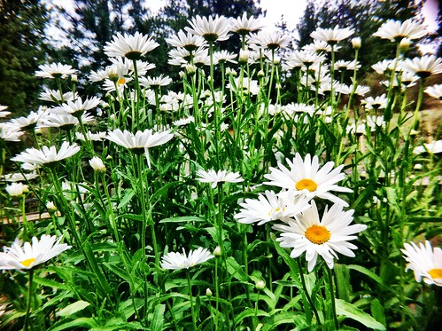 Daisies are my favorite.