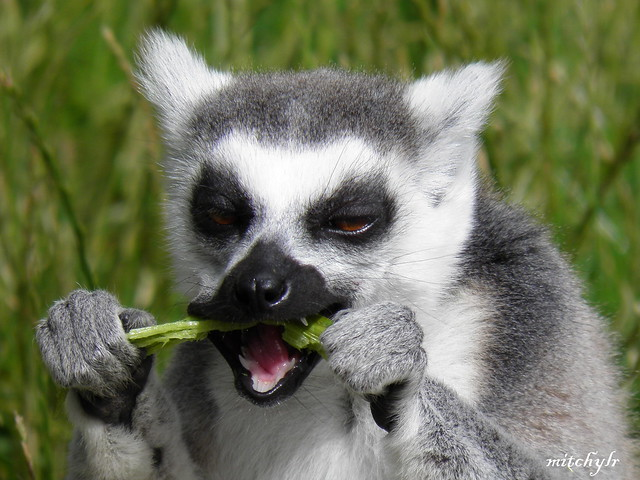 Ring-Tailed Lemur 10