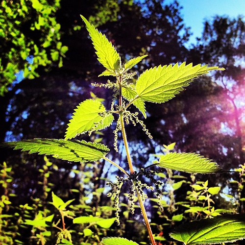Regal nettle