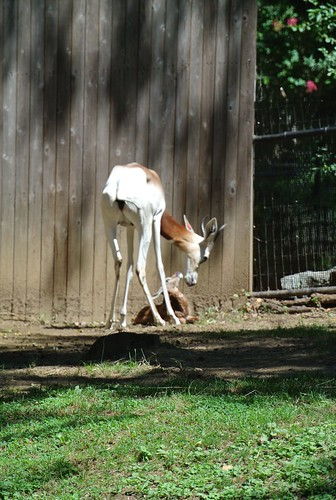 Dama Gazelle Born at the Smithsonian's National Zoo by Smithsonian's National Zoo
