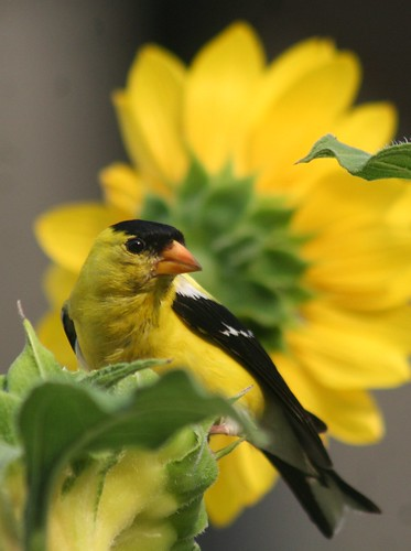 American Goldfinch and Sunflower -- !!@@@@@@@@@@@@&&&%F GHF(1)