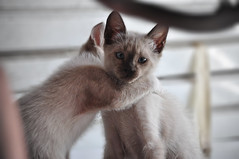 oriental shorthair(0.0), animal(1.0), kitten(1.0), siamese(1.0), small to medium-sized cats(1.0), pet(1.0), thai(1.0), tonkinese(1.0), close-up(1.0), cat(1.0), burmese(1.0), carnivoran(1.0), whiskers(1.0), balinese(1.0), domestic short-haired cat(1.0),