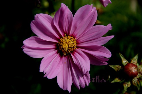 A favorite of mine Cosmos  Bippinatus