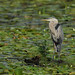 Great Blue Heron_2674.jpg