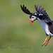 Puffin Incoming by StevieC - Photography