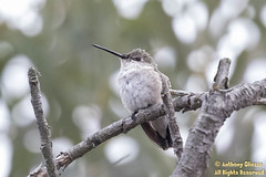 Costa's Hummingbird (9243) (female)