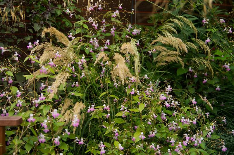 acnatherum calamagrostis  2085