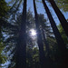Small photo of Cazadero Redwoods