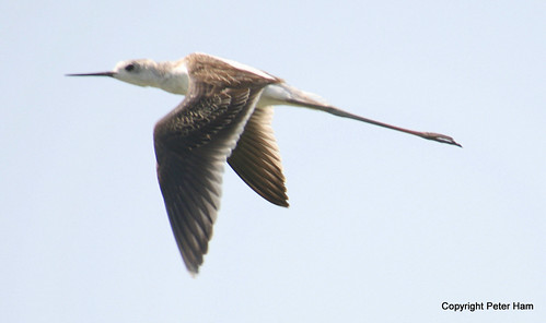 Black Winged Stilt - Carmargue