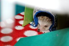 hamster(0.0), animal(1.0), hedgehog(1.0), pet(1.0), erinaceidae(1.0), close-up(1.0),