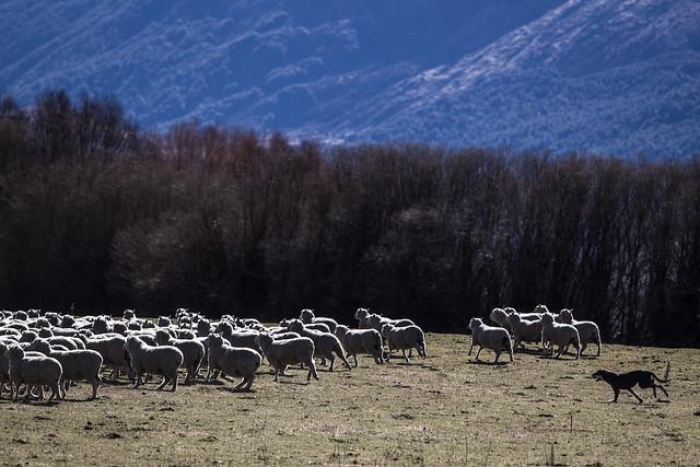 SheepDog_Treblecone_NZ_G.LHeureux-9515-2