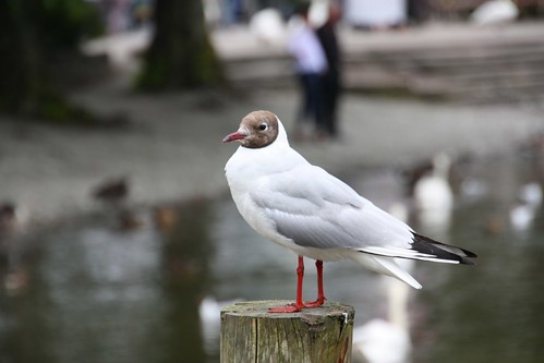 Gull at Windermere