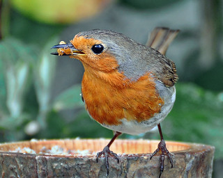 Robin with meal worms.