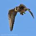 Falcon, Peregrine (Falco peregrinus) [Immature] by Alexander Viduetsky