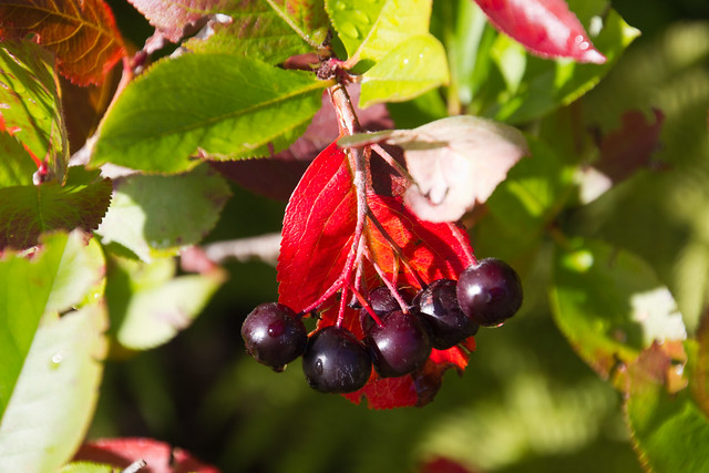 Black aronia / Must aroonia