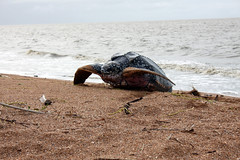 animal(1.0), beach(1.0), turtle(1.0), sea(1.0), reptile(1.0), loggerhead(1.0), fauna(1.0), shore(1.0), leatherback turtle(1.0), wildlife(1.0), sea turtle(1.0),