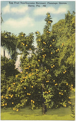 Egg Fruit Tree (Lucuma Nervosa), Flamingo Groves, Davie, Florida