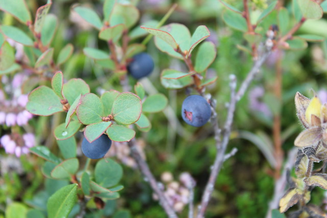 bayas silvestres islandia - berry iceland
