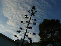 contrejour sur fruits d'agave