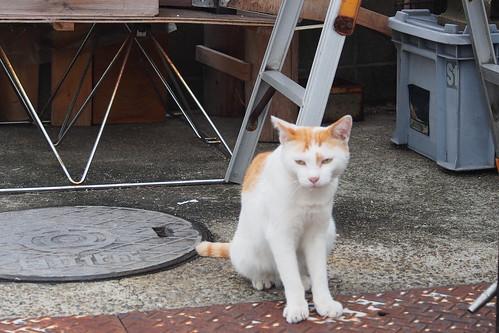 Kiyosu cat