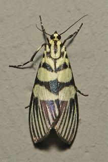 Crambid Moth (Heortia vitessoides, Odontiinae)