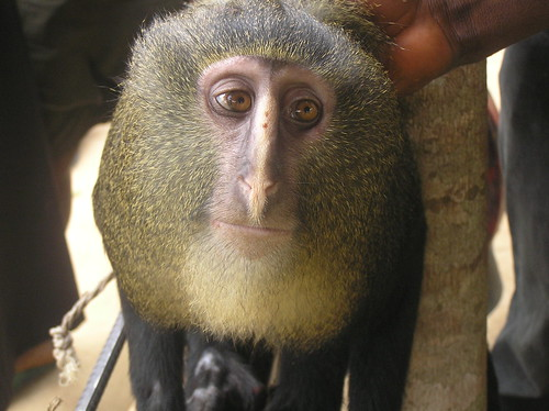 A New Species of Monkey from the Center of Congo | Searching