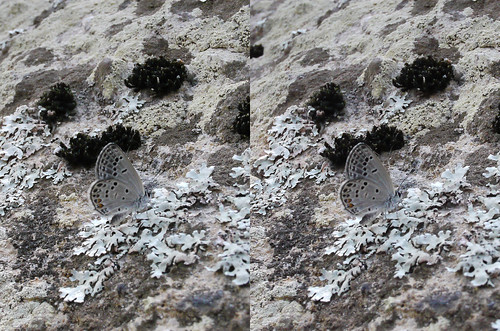 Tongeia fischeri, stereo parallel view