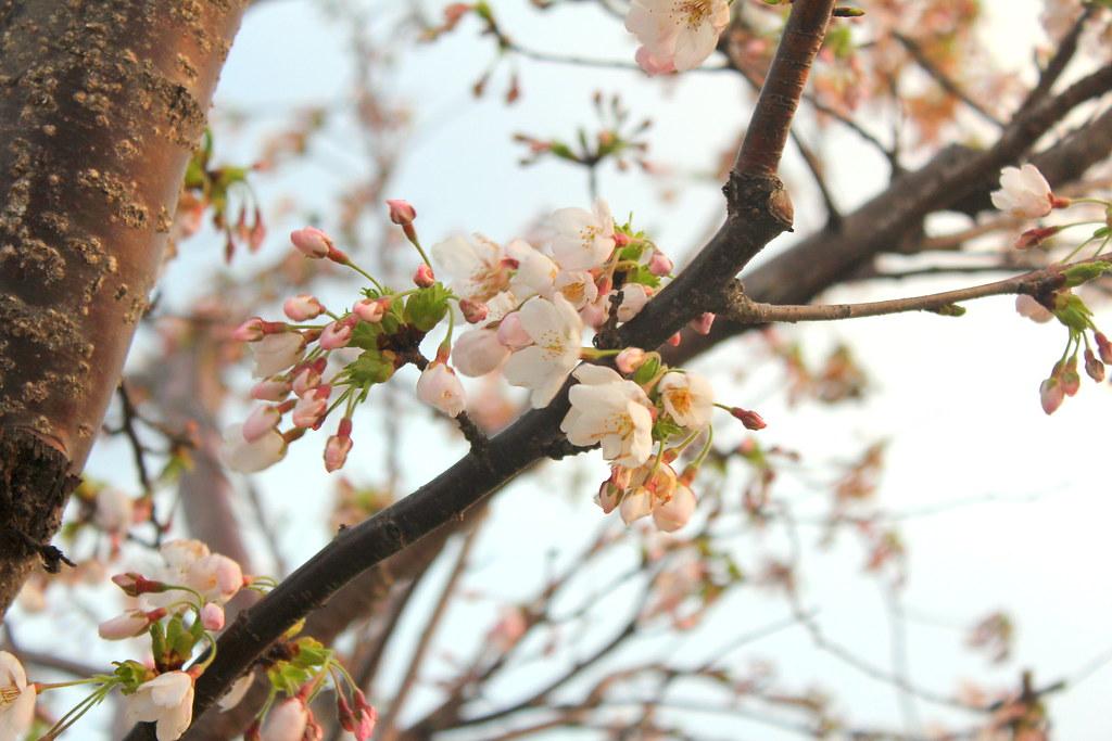 Korea Sakura