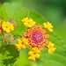 #251 Lantana - Wild-type Spanish Flag