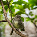 South Island Robin_8511.jpg