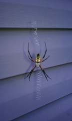 Friendly neighborhoos spider