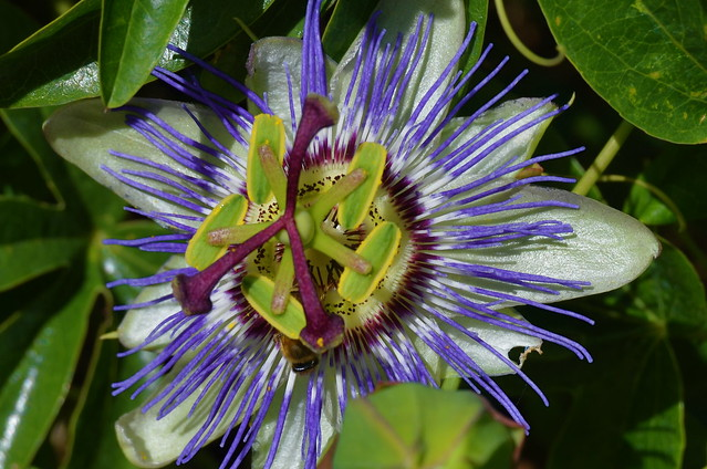Passion Flower from Flickr via Wylio