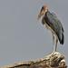 Marabou Stork (Tim Melling)
