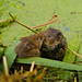 Pair of water voles several hours after being released by andrewinpompey