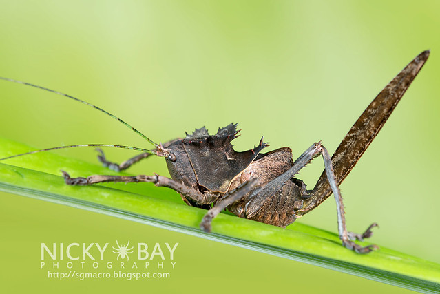 Dragon-Headed Katydid (Lesina sp. or Ellatodon sp.?) - DSC_6427