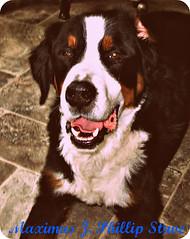 dog breed(1.0), animal(1.0), dog(1.0), pet(1.0), mammal(1.0), bernese mountain dog(1.0),
