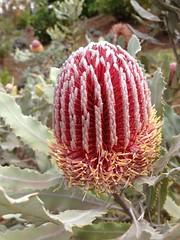 Banksia Protea 2