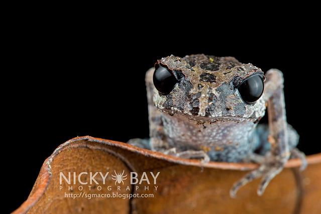 Black-eyed Litter Frog (Leptobrachium nigrops) - DSC_8618