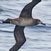 010 Albatrosses