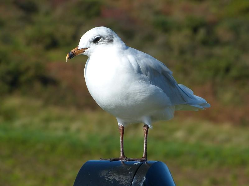 28815 - Mediterranean Gull, Bracelet Bay