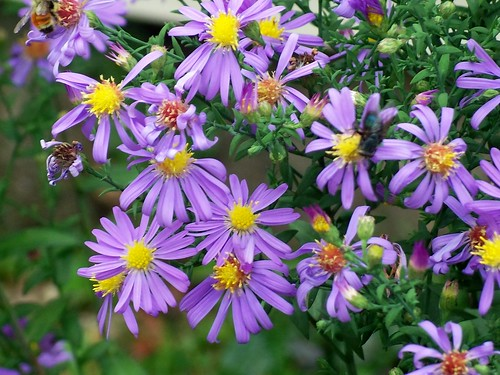 Aster laevis 'Bluebird' blooms - 2 Oct 2012