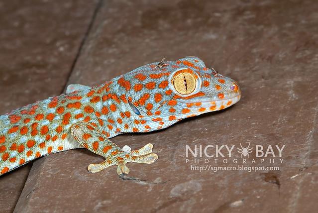 Tokay Gecko (Gekko gecko) - DSC_4567