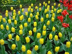 Yellow Tulips, Keukenhof Gardens, Netherlands - 3926
