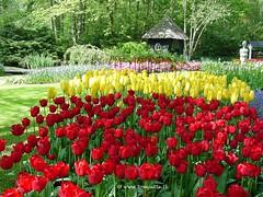 Dutch Tulips, Keukenhof Gardens, Holland - 4001