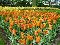 Dutch Tulips, Keukenhof Gardens, Netherlands - 3918