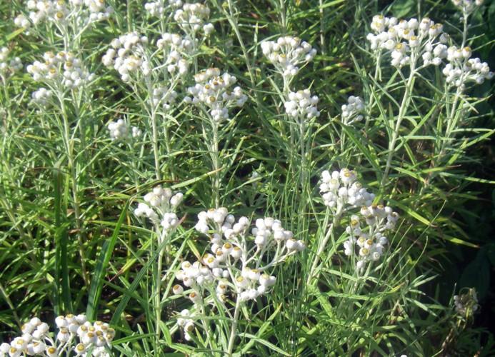 Anaphalis margaritacea 8061936848_cfb1ef05be_o