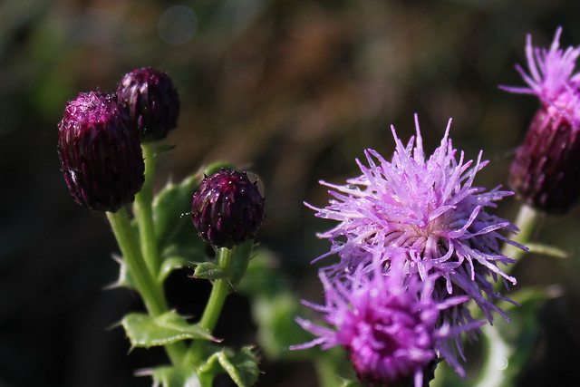 Dewy thistle heads