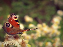 Joli petit papillon - Photo of Bétête