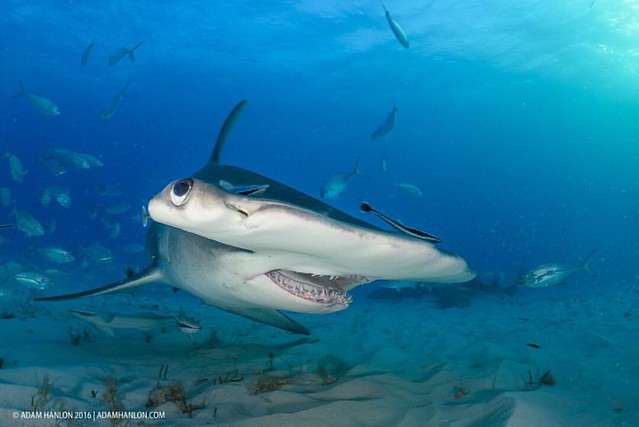 A greater hammerhead (Sphyrna mokarran) displays its amazing manoeuvrability. These amazing animals can turn in less than their own length, an ideal talent if your prey is living under the sand and you need to sense it using electro reception. It was beli